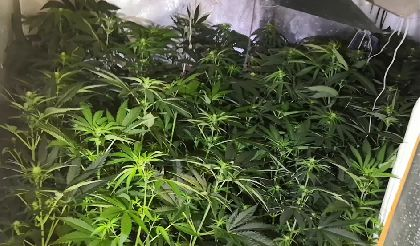 La Policía Local desmantela una plantación de marihuana que contaba con un total de 60 plantas en fase de floración en el interior de una vivienda del casco urbano de Lorca