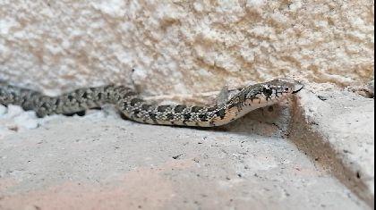 La Concejalía de Sanidad agradece a Naturactúa su labor para el rescate de dos serpientes de herradura la última semana en el municipio