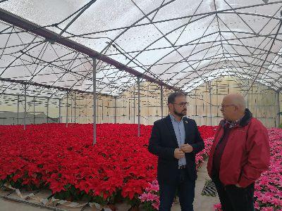La plantación de las 4.500 flores de pascua cultivadas en el vivero municipal supondrá un ahorro de 20.000 euros al Ayuntamiento de Lorca