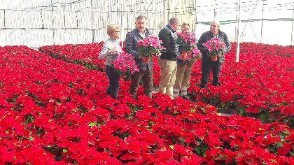 Más de 5.000 flores de Pascua procedentes del vivero municipal de La Torrecilla engalanarán los espacios verdes de Lorca de cara a la Navidad