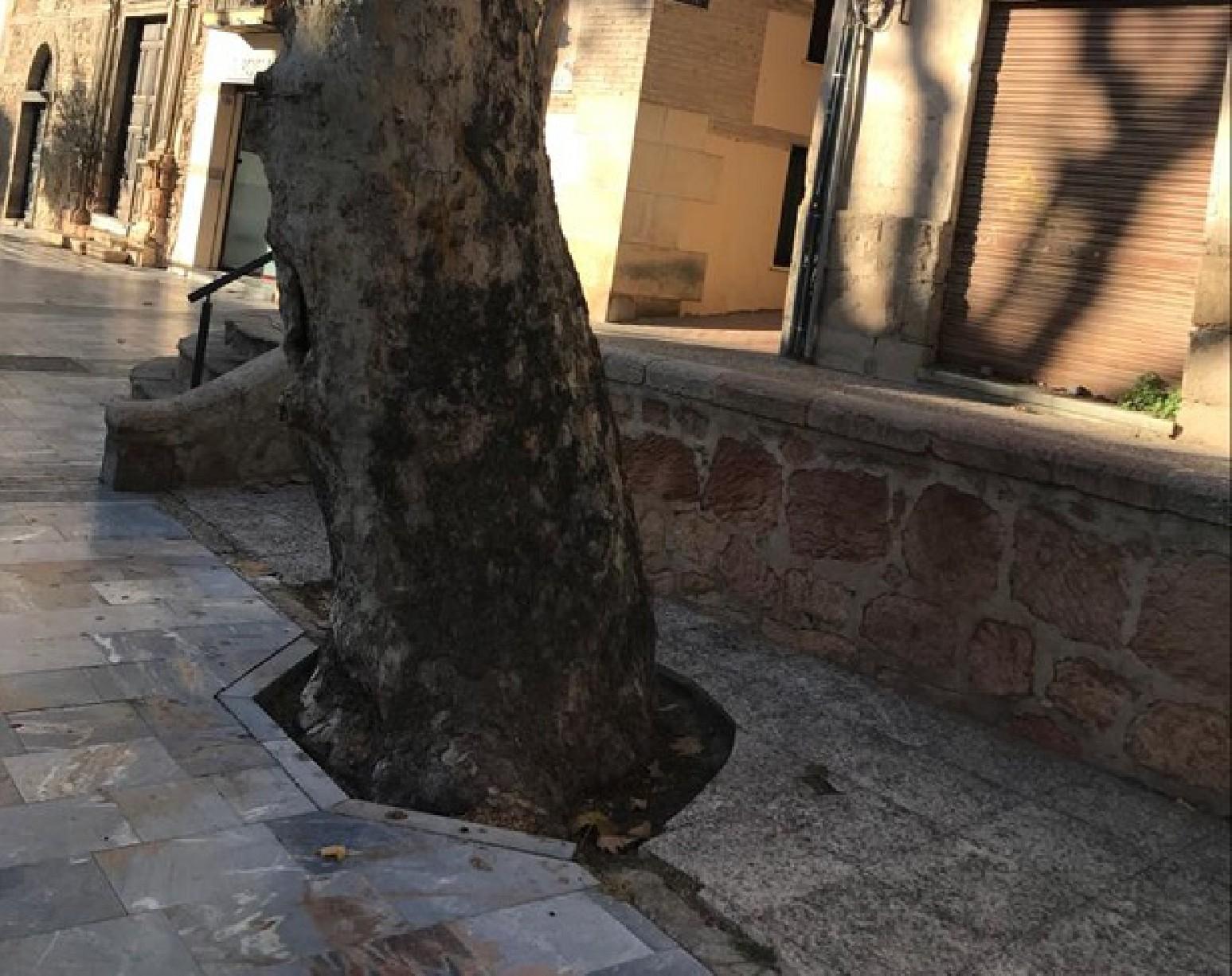 El Ayuntamiento sustituirá cuatro árboles que se encuentran en malas condiciones por nuevos ejemplares